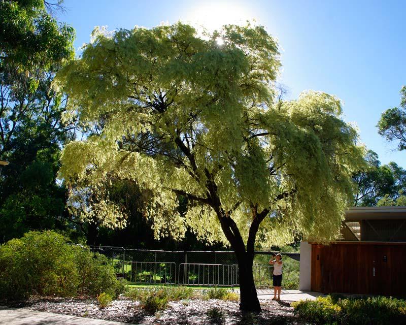 GardensOnline: Agonis flexuosa Variegata