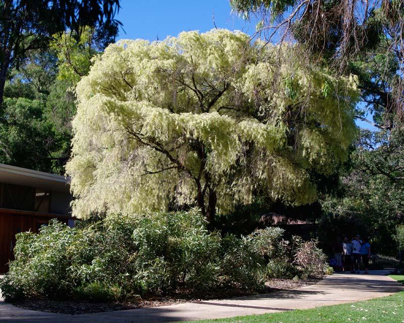Variegated Peppermint Tree, Agonis flexuosa variegata