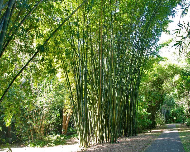 Gardensonline Bambusa Oldhamii Syn Dendrocalamopsis Oldhamii