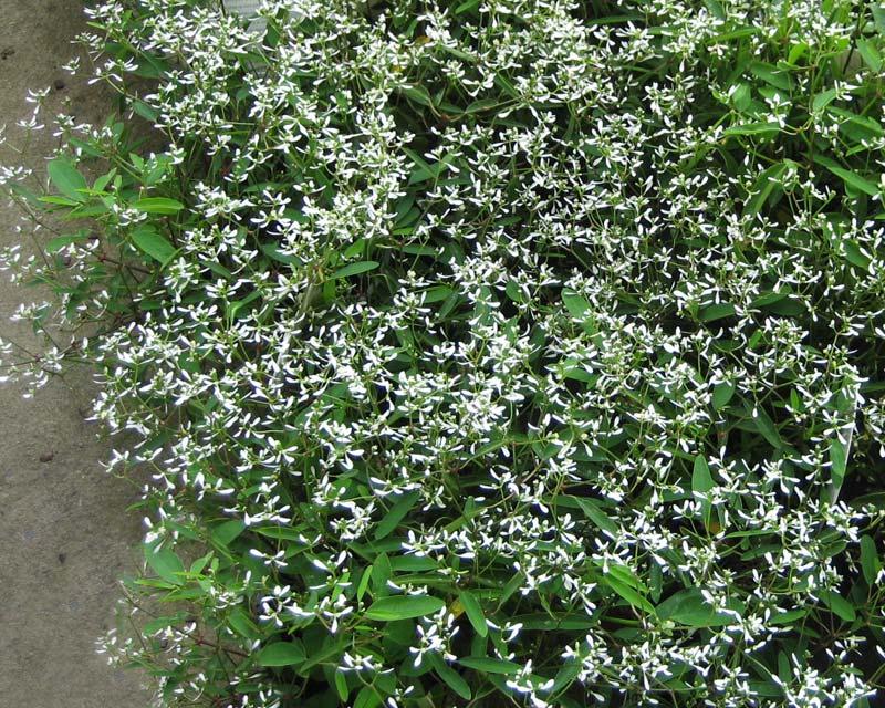 Euphorbia Diamond Frost -