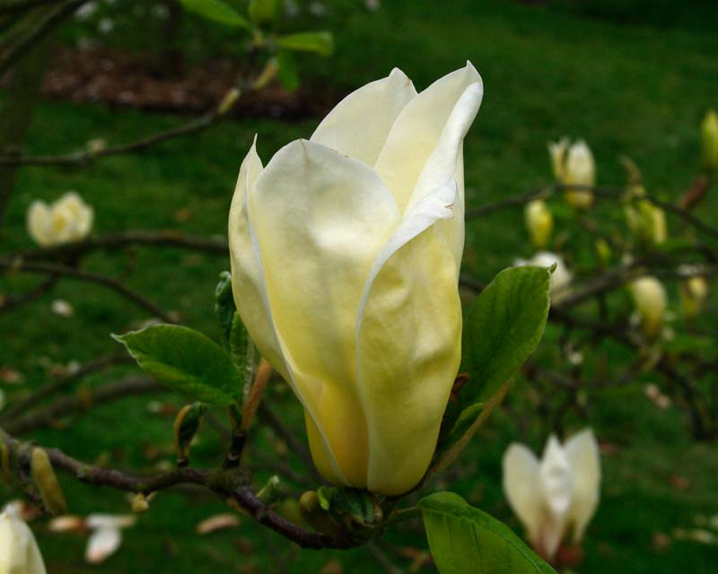 Gardensonline Magnolia Deciduous Hybrids