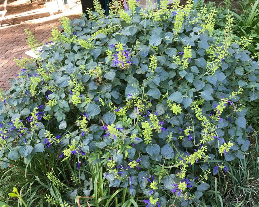 Salvia mexicana Limelight
