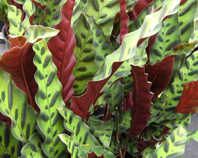 gardensonline calathea insignis syn calathea lancifolia. Black Bedroom Furniture Sets. Home Design Ideas