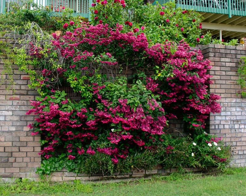 GardensOnline: Clerodendrum x speciosum syn. C. delectum