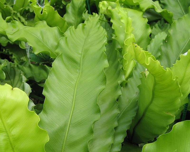 GardensOnline: Asplenium antiquum victoria Ruffled Birds Nest Fern For Sale