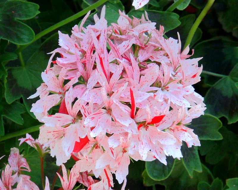 Gardensonline Pelargonium Stellar Hybrids