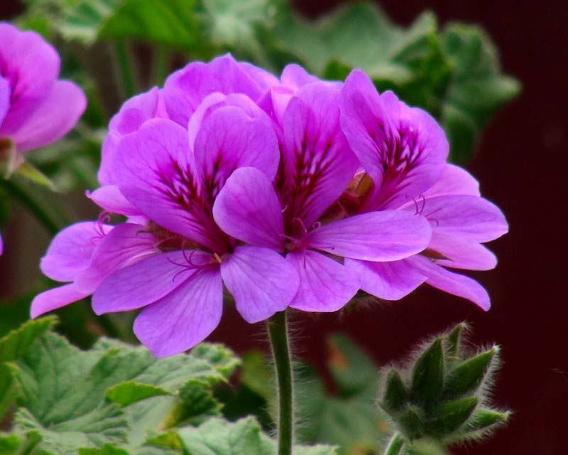 Gardensonline pelargonium unique hybrids for Which of these is unique to flowering plants
