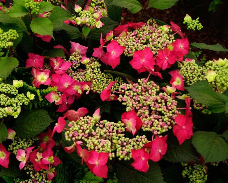 Gardensonline Hydrangea Macrophylla Normalis