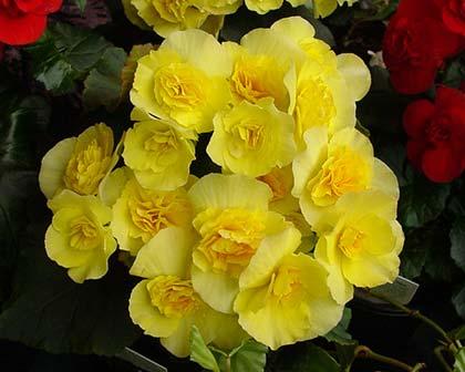 GardensOnline: Begonia Elatior group