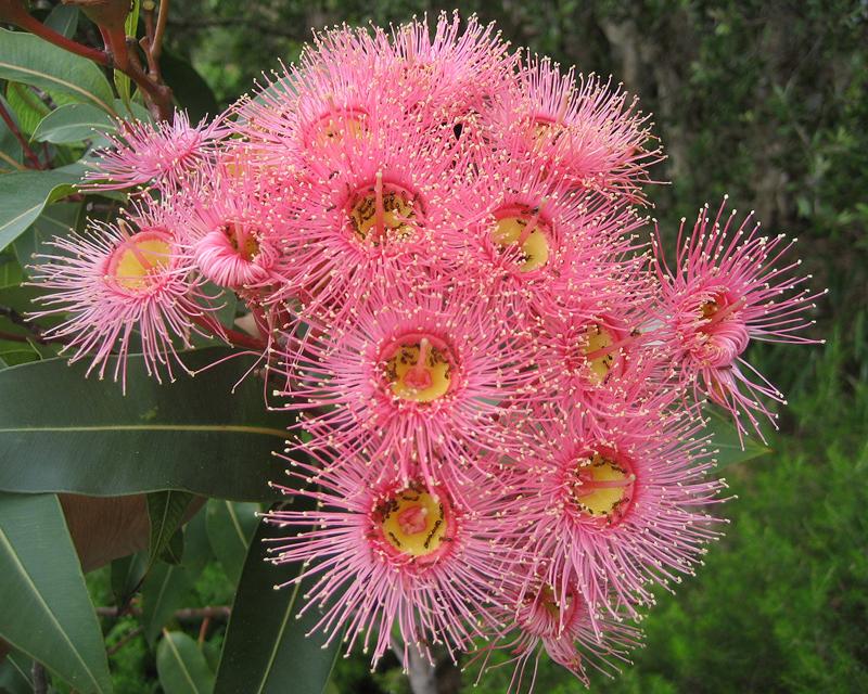 Gardensonline Corymbia Cultivars