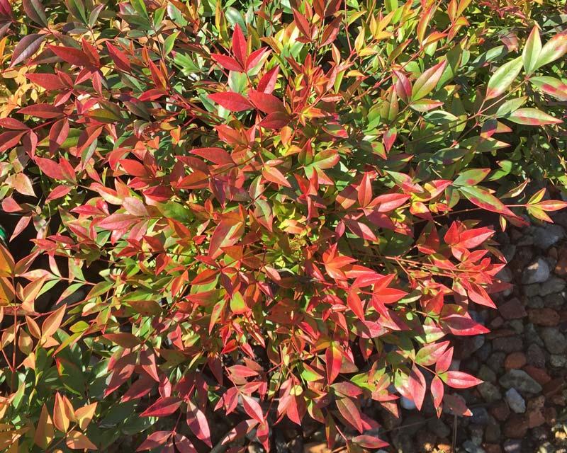 GardensOnline: Nandina domestica cultivars Nandina Domestica Gulf Stream