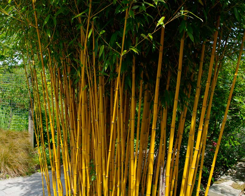gardensonline phyllostachys vivax aureocaulis. Black Bedroom Furniture Sets. Home Design Ideas