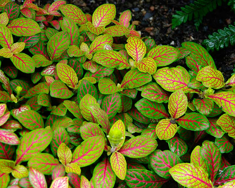 Fittonia albivenis Skeleton