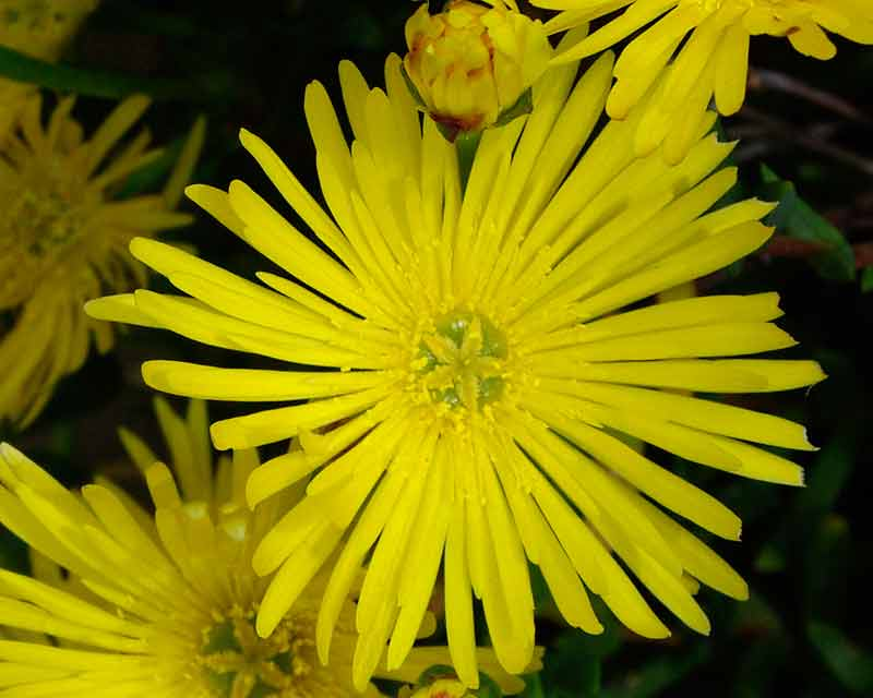 Gardensonline Lampranthus Aureus