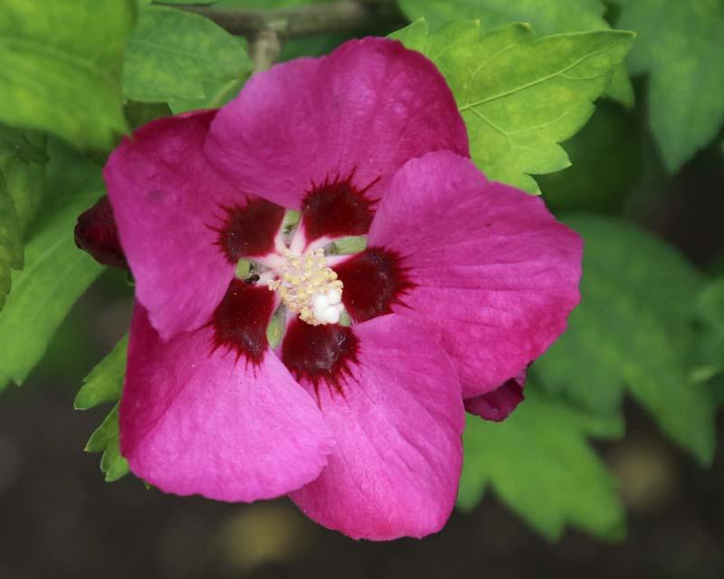 gardensonline hibiscus syriacus. Black Bedroom Furniture Sets. Home Design Ideas