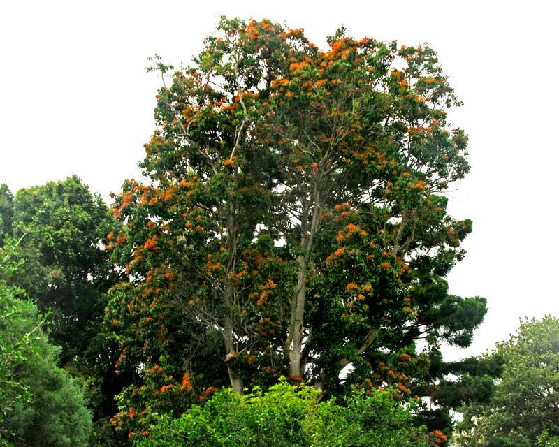 Gardensonline Pittosporum Rhombifolium Syn Pittosporum