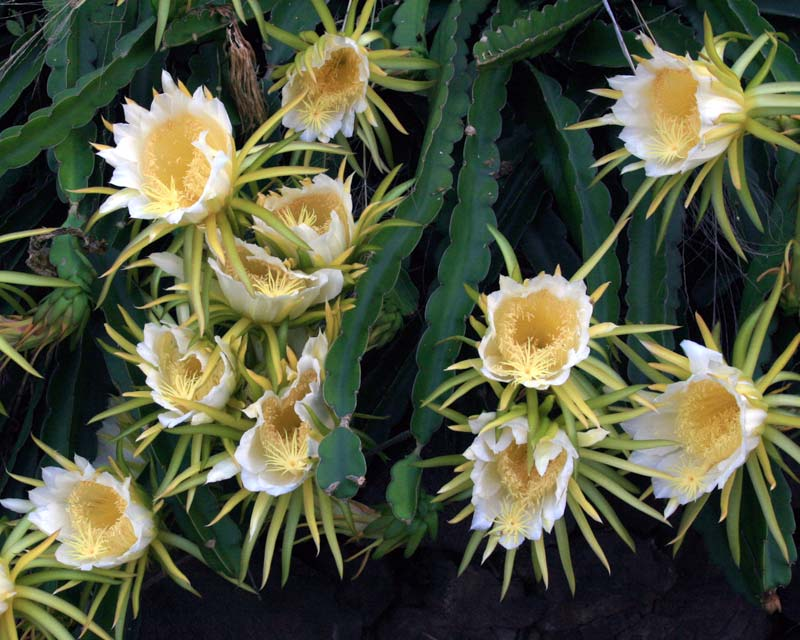 Gardensonline hylocereus undatus