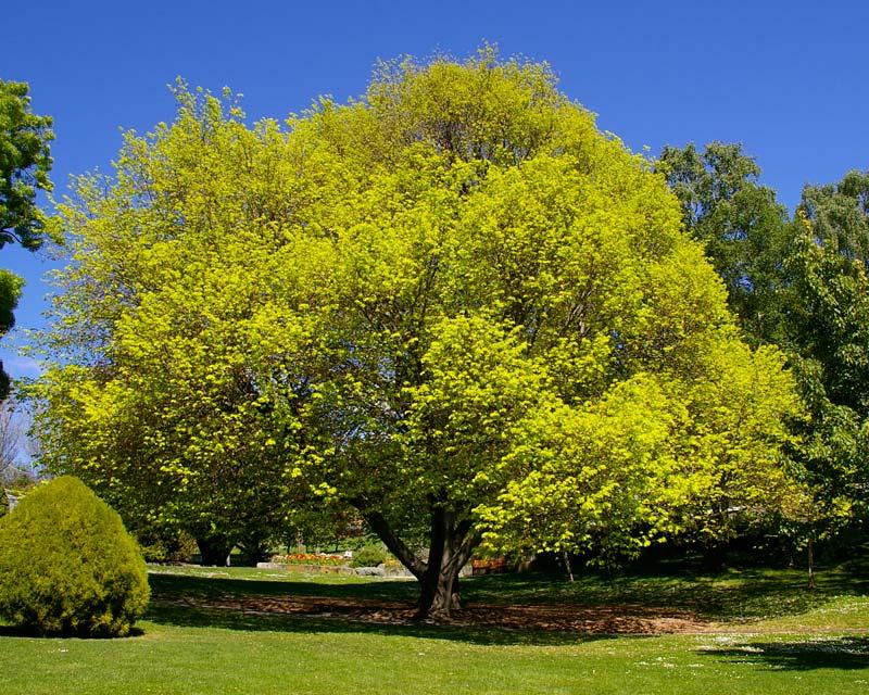 Gardensonline Ulmus Glabra Lutescens