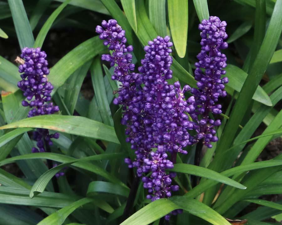 Gardensonline Liriope Muscari