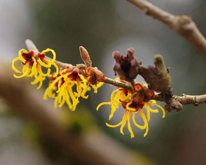 Hamamelis mollis Chinese Witch Hazel  yellow spidery flowers appear on bare branches in late winter - photo Orjen