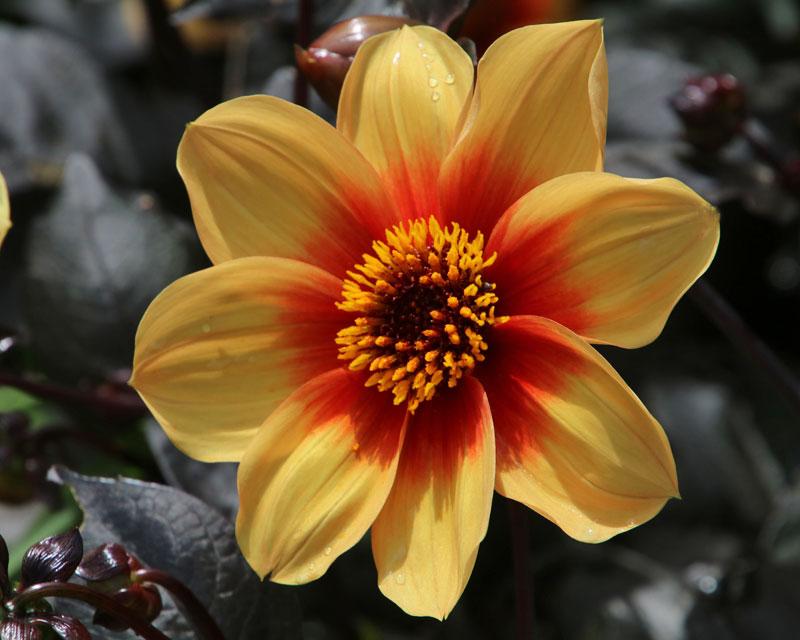 Gardensonline Dahlia Single Flowered Group