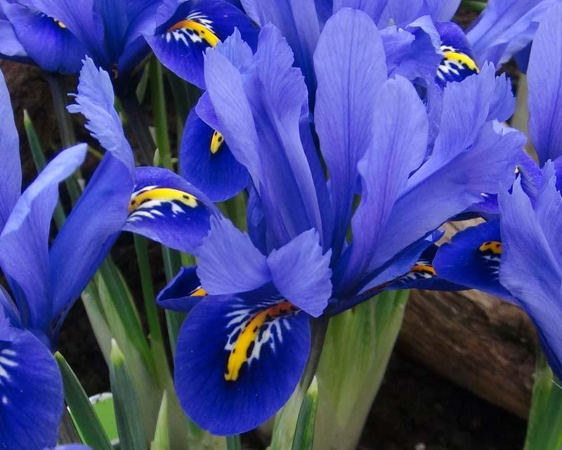 gardensonline iris reticulata. Black Bedroom Furniture Sets. Home Design Ideas
