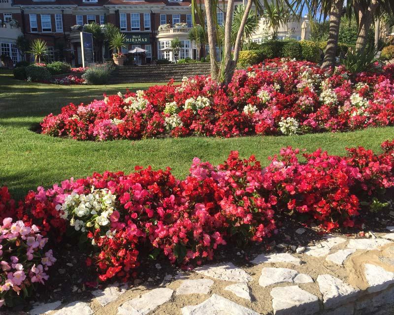 GardensOnline: Begonia semperflorens