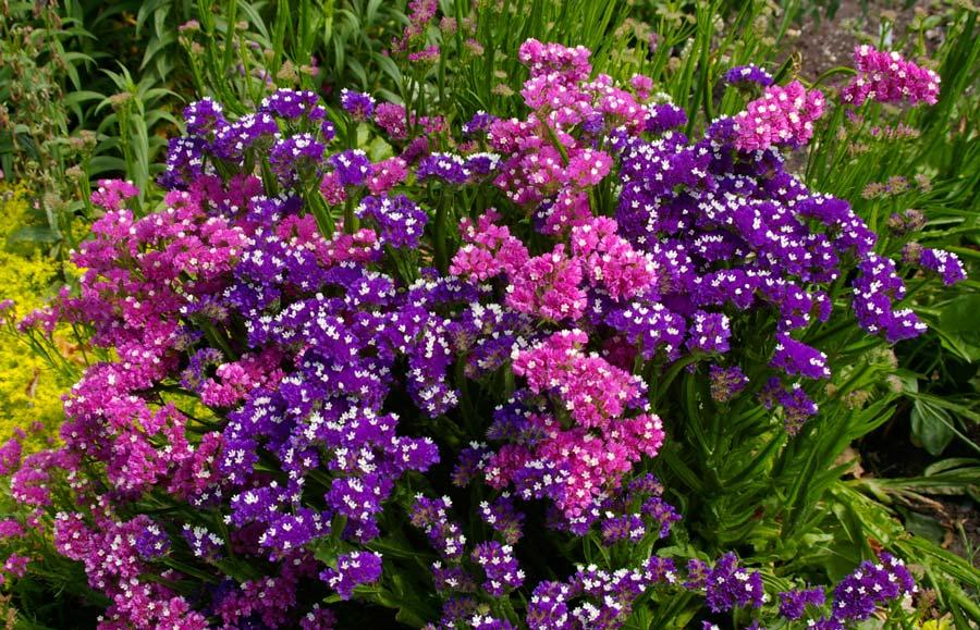 GardensOnline: Limonium sinuatum