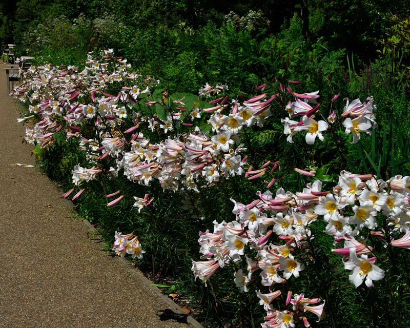 Gardensonline Lilium Regale