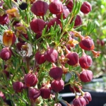Boronia megastigma  (Brown Boronia) - tubestock