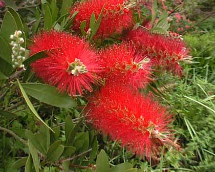 Brilliant red bottlebrushes