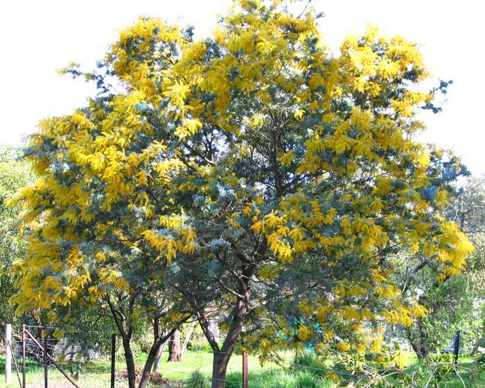 gardensonline  acacia baileyana purpurea  cootamundra
