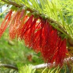 Calothamnus quadrifidus (One sided bottlebrush Net Bush)  Tube stock