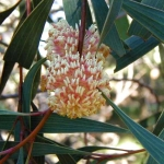 Hakea Laurina (Pin Cushion Hakea)- tube stock