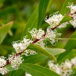 Hakea salicifolia (Willow-Leaf Hakea) - tube stock