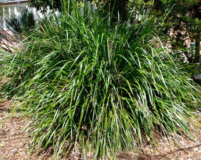 gardensonline  lomandra longifolia  mat rush
