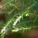 Melaleuca incana - Tube stock