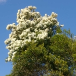 Melaleuca linarifolia  (Snow in Summer) - Tube stock