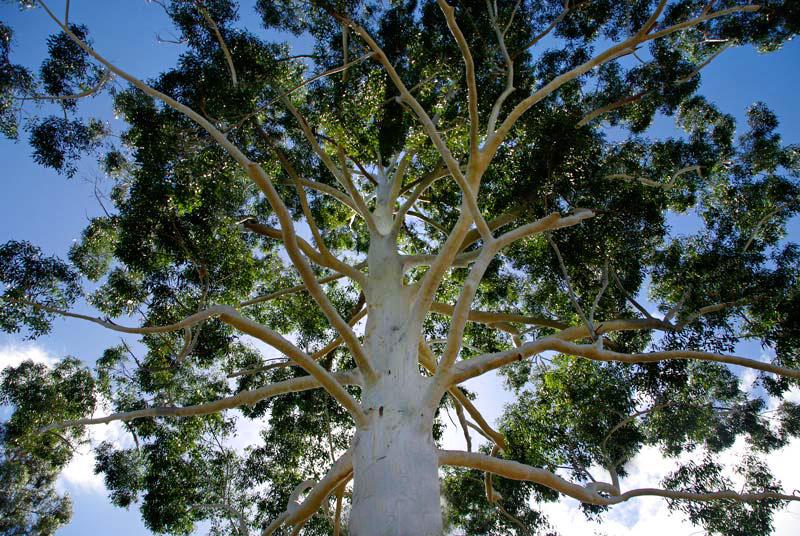 GardensOnline: Eucalyptus Grandis (Rose Or Flooded Gum