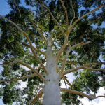 Eucalyptus grandis (Rose or Flooded Gum) - 50mm tubestock