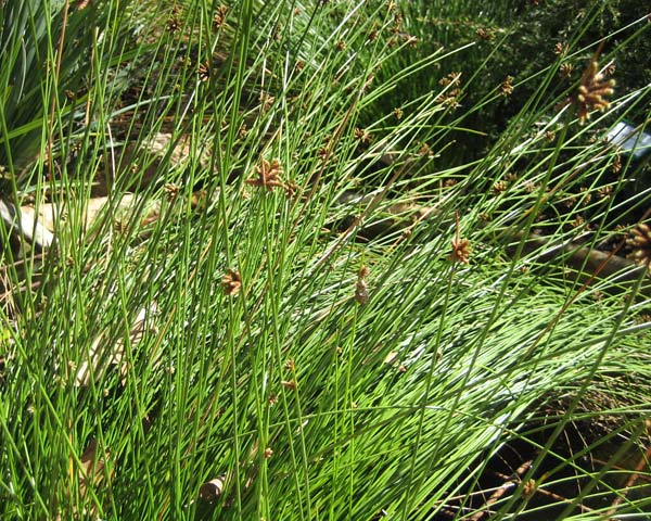 Gardensonline Ficinia Nodosa Knobby Club Rush Tubestock