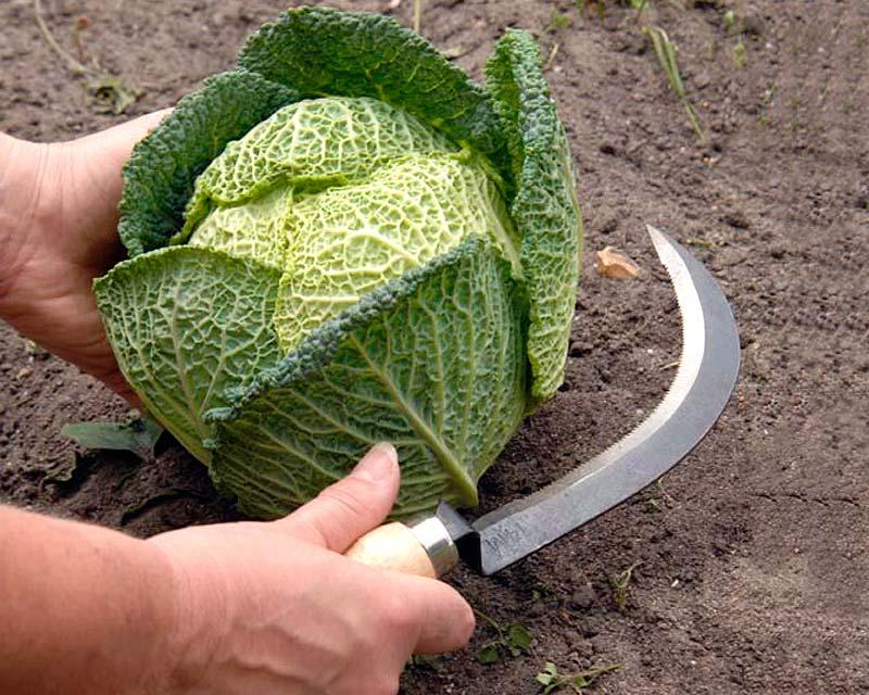 Vegetable Harvesting Knife - Burgon & Ball -