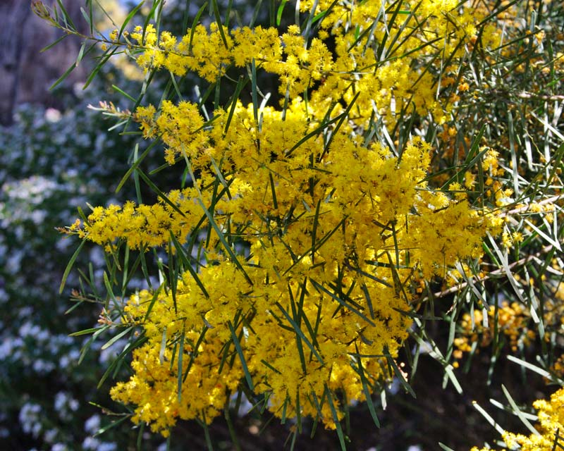 Acacia boormannia - Snowy River Wattle