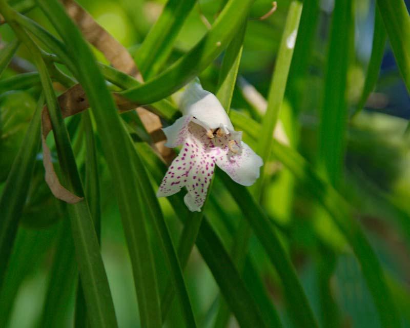 Eremophila bignoniflora x polyclada