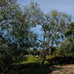 Eucalyptus largiflorens (Black Box)