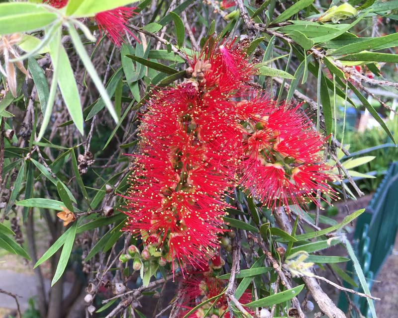 Callistemon viminalis - Weeping Bottlebrush