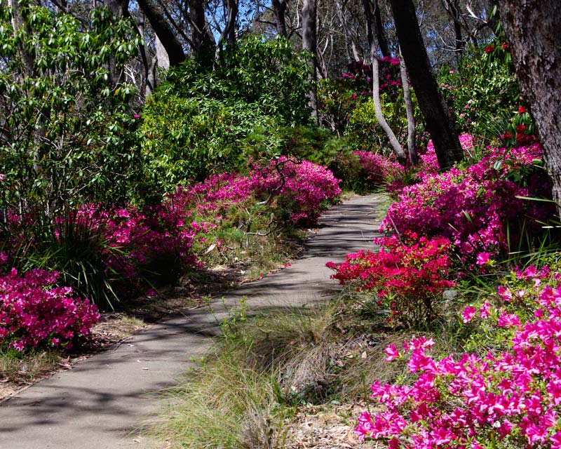 Rhododendrons And Azaleas Are Images