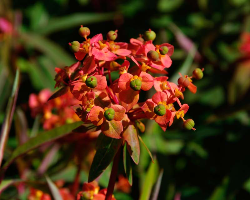 The most colourful Euphorbia is 'Fireglow'  - Loseley Park House