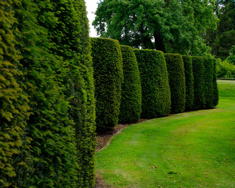 Ancient Yew makes for excellent topiary shapes and hedges - Loseley Park House