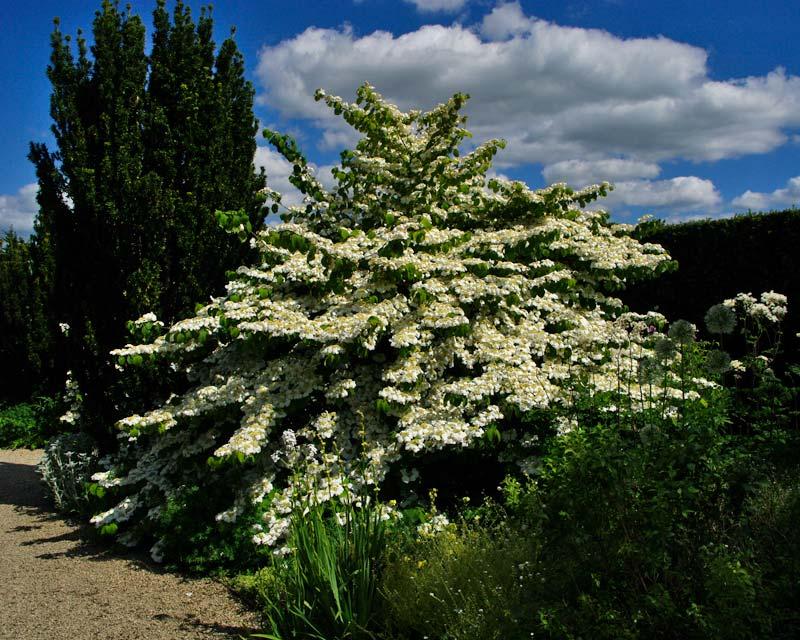 Viburnum plicatum in full, glorious bloom at Losely Park